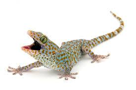 Interesting facts of gicko Lizard
