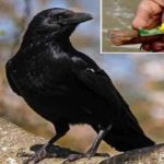 Facts about crow in Pitru paksha